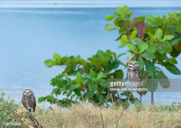 Two owls on the edge of the lagoon of Saquarema!