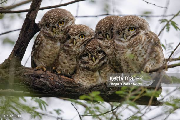 two owls perching on branch, bharatpur, india - great horned owl stock pictures, royalty-free photos & images