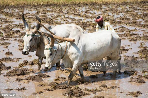 Two oxen and farmer ploughing a paddy field Tamil Nadu India