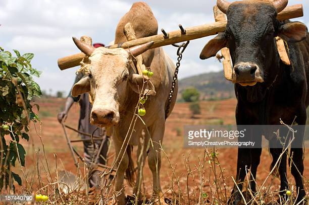 Two oxen plowing a field in Africa