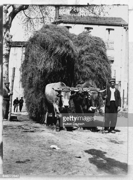 Two oxen pulling a cart loaded high with hay along a street