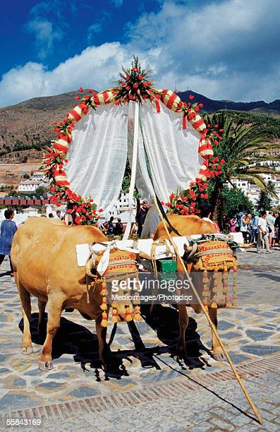 two oxen pulling decorated cart, el romeria festival, benalmadena, spain - ox cart stock-fotos und bilder