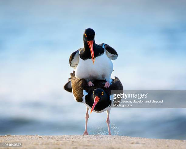 two oystercatchers looking at camera while mating at jones beach, long island - funny animals stock pictures, royalty-free photos & images