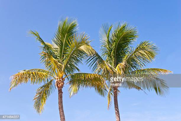 two palm trees against blue sky - palmetto florida stock pictures, royalty-free photos & images