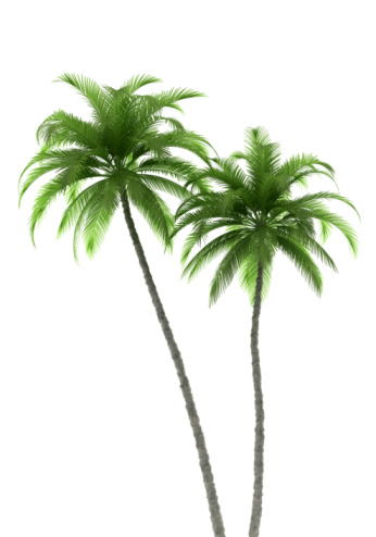 two palm trees isolated on white background with clipping path 92359001