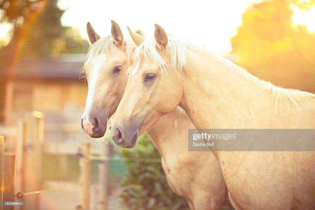 Two Palomino Horses : Stock Photo
