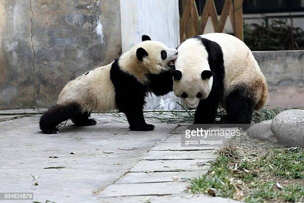 two pandas playing with each other - animal behavior stock pictures, royalty-free photos & images