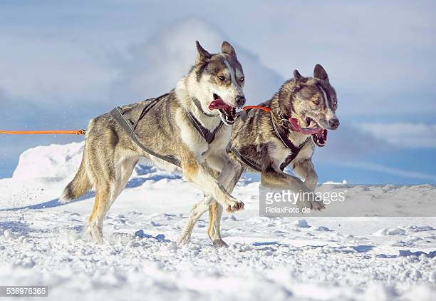 Two panting siberian husky sled dogs running in snow