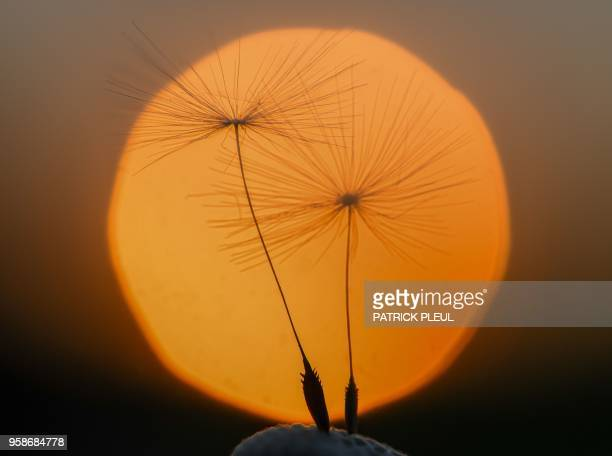Two parachutes still stick on a blowball of a dandelion plant and silhouette against the setting sun on May 14 2018 in Sieversdorf eastern Germany /...