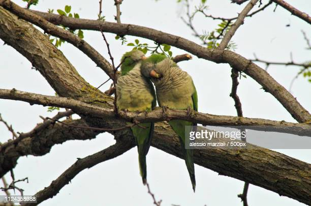 Two Parakeets In Love