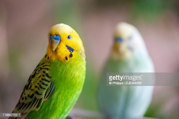 two parakeets looking at camera - domestic animals stock pictures, royalty-free photos & images