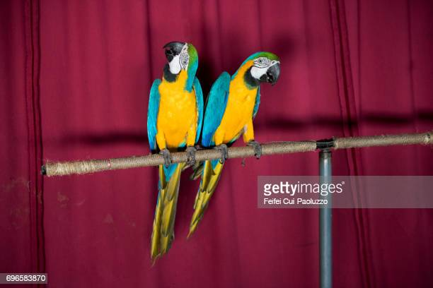 Two Parrot
