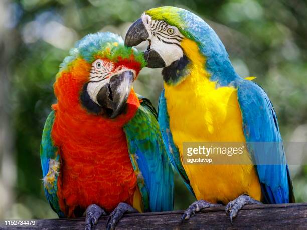 two parrots affection - macaw tropical bird couple on nature – pantanal, brazil - macaw stock pictures, royalty-free photos & images