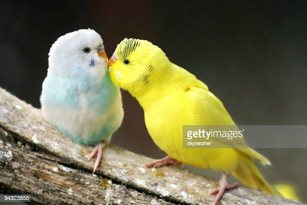 two parrots in love