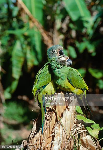 Two parrots on tree