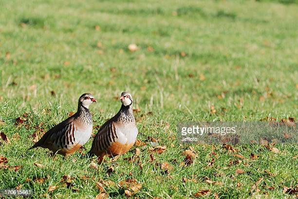 Two partridge game birds in a field