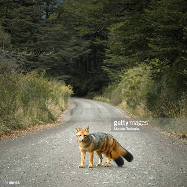 two patagonic foxes in one - radicella stock pictures, royalty-free photos & images