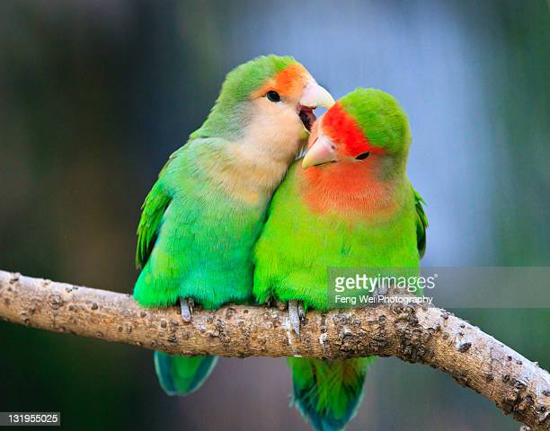 two peace-faced lovebird - two animals stock pictures, royalty-free photos & images