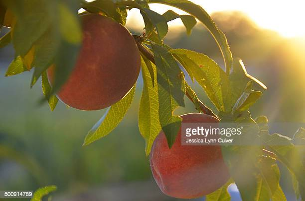 Two peaches ripening on a tree branch