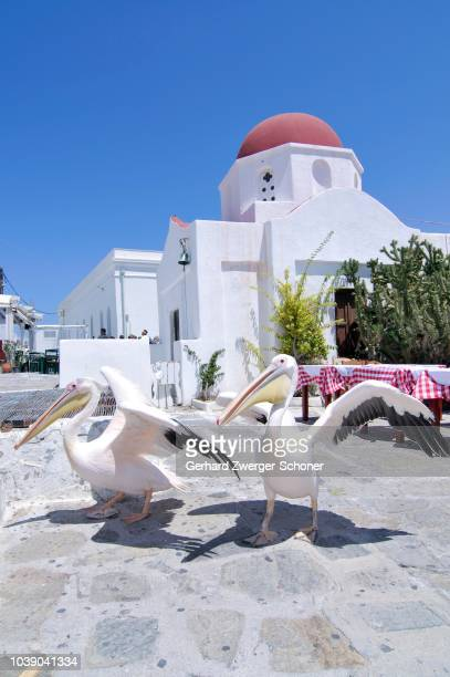 Two pelicans at the main square in front of a Greek domed church with a red roof, tourist attraction in Mykonos city, Mykonos, Cyclades, Greece