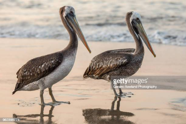 Two Pelicans face the Ocean in Peru