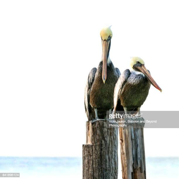 two pelicans on post at fort myers beach, florida - high key stockfoto's en -beelden