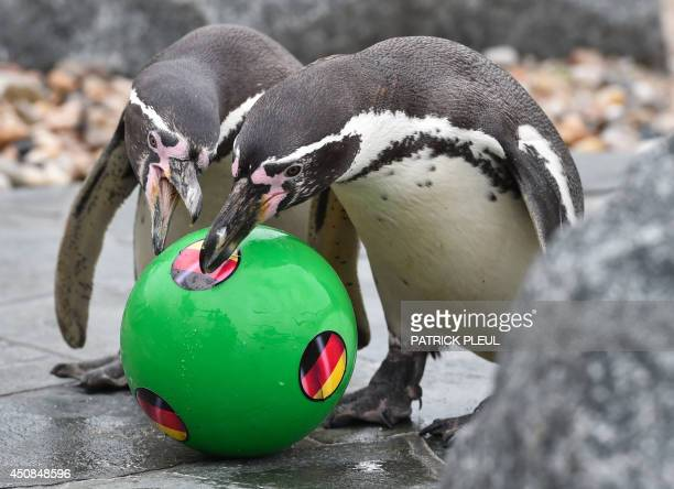 Two penguines play with a ball displaying the national flag of Germany at the SpreeweltenBad a sauna and swimmingpool facilities with penguines in...