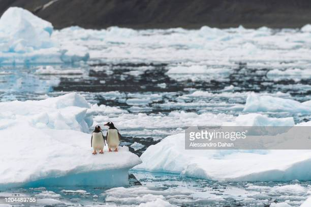 Two penguins of the species Gentoo stand on an ice block in front of the Brazilian Comandante Ferraz Station, on December 20, 2019 in King George...