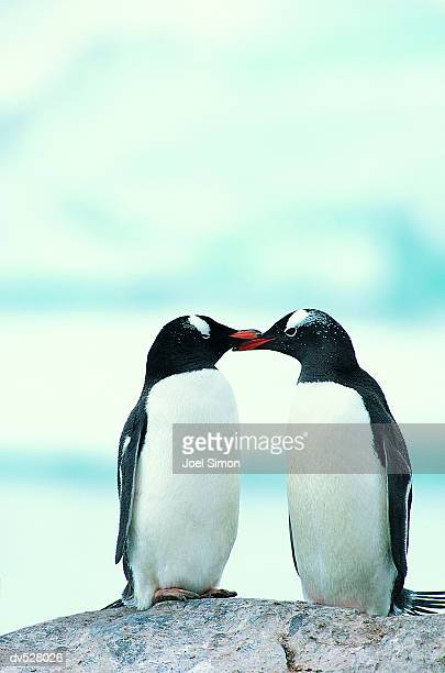 Two Penguins touching beaks