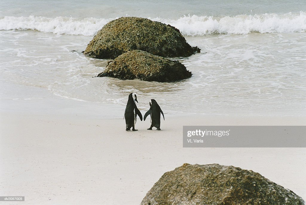 Two Penguins Walking Towards the Water on a Beach : Stock Photo