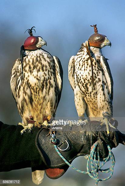Two Peregrine falcons wearing leather hoods perched on gloved hand of falconer