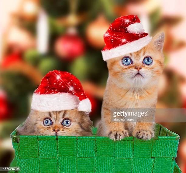 Two persian kitten with santa hats in front of a christmas tree