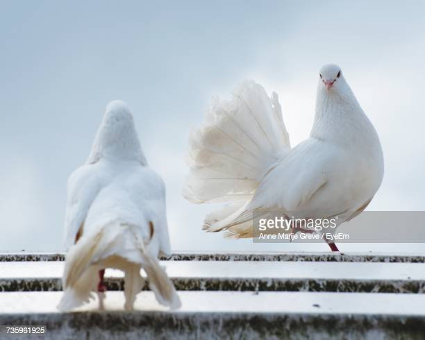 Two Pigeons Courting