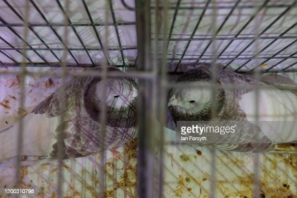 Two pigeons sit facing each other on the first day of the annual British Homing Pigeon World Show of the Year at Blackpool Winter Gardens on January...