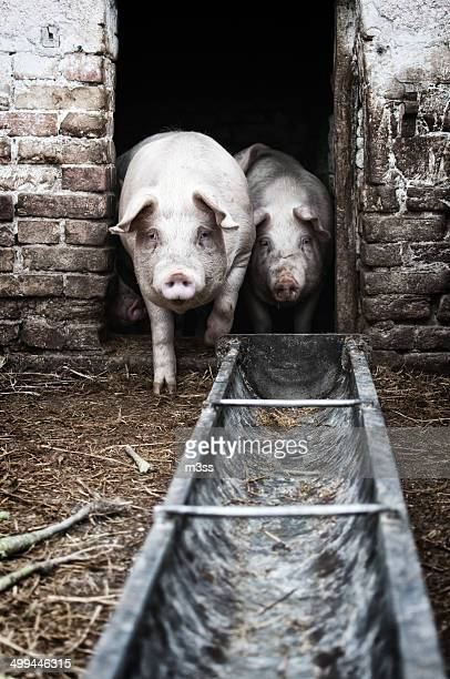 two pigs looking at the camera at a farm - pigs trough stock pictures, royalty-free photos & images