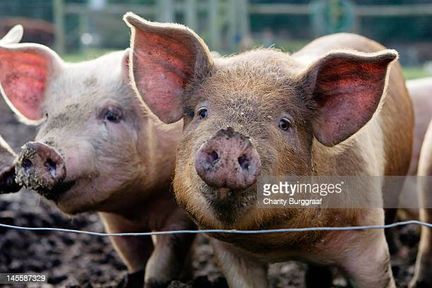two pigs on  farm - pig stock photos and pictures