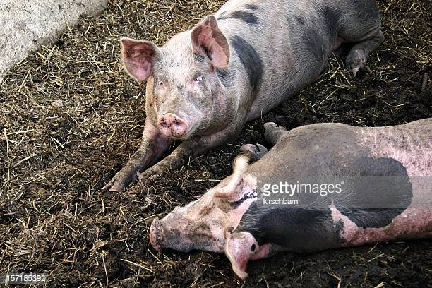 two pigs - pig in shit stock pictures, royalty-free photos & images