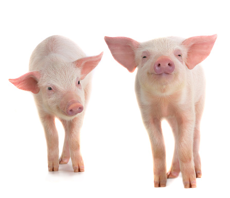 two pigs 493085800