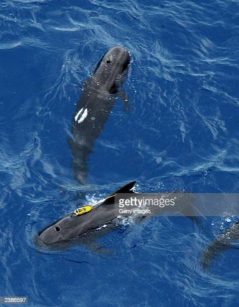 Two pilot whales, tagged with satellite transponders, swim in the Atlantic Ocean August 10, 2003 off the Florida Keys. A total of five pilot whales...