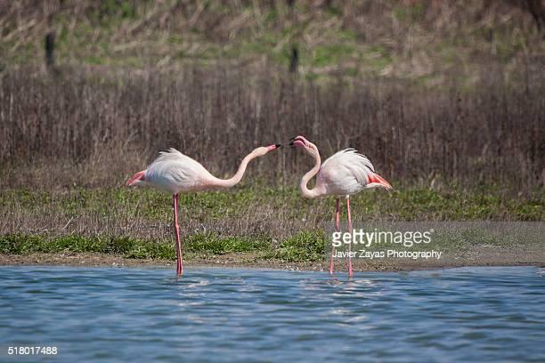 Two Pink flamingos (Phoenicopterus)