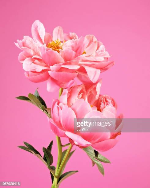 Two pink peonies on pink background