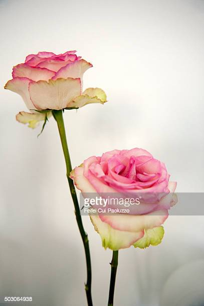 Two Pink Roses without leaf at Bern City Switzerland