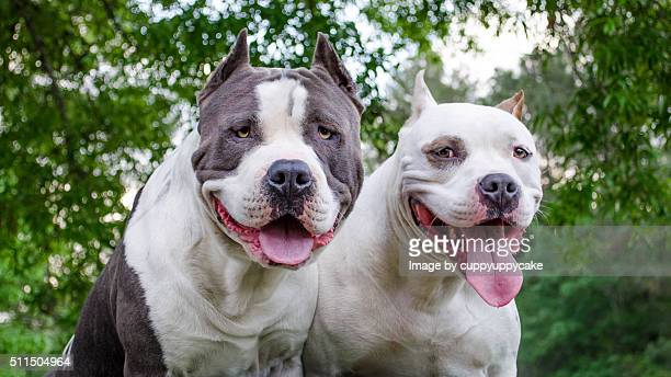 60 Top Pit Bull Terrier Pictures, Photos, & Images - Getty Images