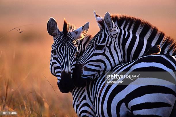two plains zebra (equus burchelli) nuzzling - zebra stock pictures, royalty-free photos & images