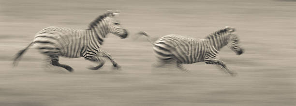 Two Plains Zebras Racing Across The Ground In Ngorongoro Conservation Area, Tanzania Wall Art