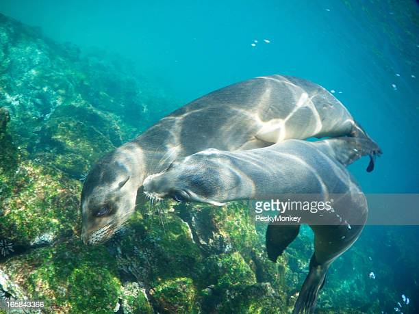 Two Playful Sea Lions Nuzzle Underwater