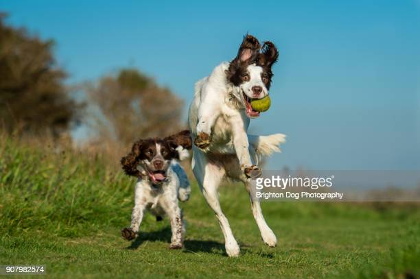 two playful spaniels running and jumping - springer spaniel stock photos and pictures