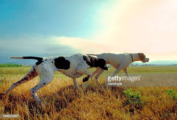 Two pointer dogs in a meadow with sky on background