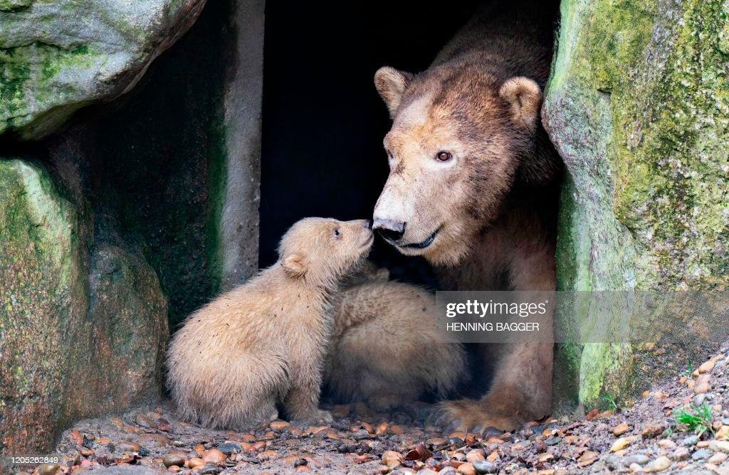 DENMARK-ANIMALS-ZOO-POLAR-BEAR-CUBS : News Photo