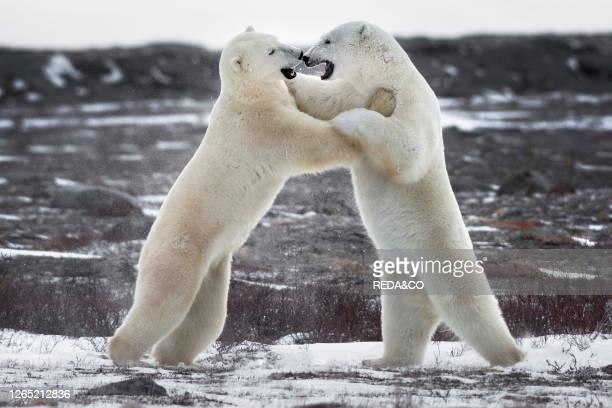 Two polar bear hugginh during a fight. Churchill. Manitoba. Canada.